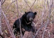 지리산 가출 수컷 곰 고속버스와 충돌…치료 위해 다시 포획