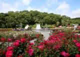 [굿모닝 내셔널]울산의 센트럴파크에서 만나는 '꽃의 여왕'