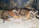 사시 호랑이·부화 못하는 알…근친교배, 동물교류로 막는다