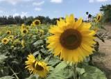 샛노란 해바라기, 파스텔톤 수국 … 제주, 여름 <!HS>꽃<!HE>의 향연