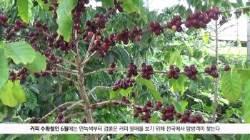 지금은 커피 꽃 필 무렵 … 대나무숲 옆에서 원두 익어가네요