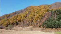 국립공원 덮은 일본잎갈나무, 둘 수도 없고 벨 수도 없고 …