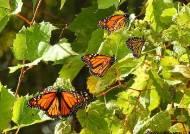 4000㎞ 제왕나비 이동, 미국-멕시코 국경장벽도 못 막는다