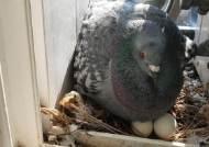 미세먼지 물러나니 '베란다 점령군' 비둘기 비상