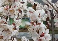 [영상]벚꽃 너머 폭설내린 백운산 설경