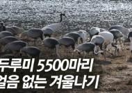 [영상]얼음 없는 철원에 두루미 5500마리가?
