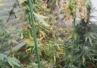 서울 근교에서 대마 재배해 국내에 유통시킨 마약사범 적발