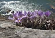 [권혁재 핸드폰사진관] 폰카로 DSLR급 야생화 사진찍기-동강할미꽃