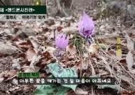 [권혁재 핸드폰사진관]폰카로 DSLR급 야생화 사진찍기 - '봄꽃의 여왕' 얼레지