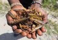 식량난 부른 메뚜기떼 먹자는 기막힌 역발상···그러다 다친다