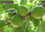 """""""10개중 9개 얼어서 못 팔아요"""" 나주배 10년 키운 농민의 한숨"""
