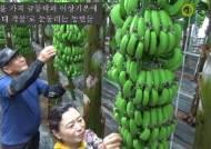 땅끝 해남에 바나나 주렁주렁···'아열대 작물' 갈아탄 농민들