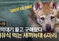 죽기 직전 새끼 극적 구출…멸종됐던 한국늑대가 돌아왔다