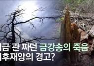 임금 관 짜던 금강송이 하얗게 셌다…울진 떼죽음 미스터리