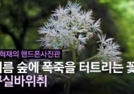 [권혁재 핸드폰사진관] 여름 숲에 폭죽을 터트리는 꽃, 구실바위취