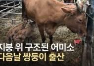 [영상]지붕 위서 마취총 맞고 구조된 어미소 쌍둥이 송아지 출산