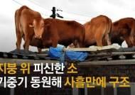 새끼 지키려했나…지붕 위 버티다 구조된 소 쌍둥이 낳았다 [영상]
