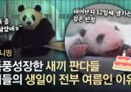 기적 뚫고 태어난 새끼 판다···한달간의 폭풍 성장기 '심쿵'