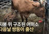앙상한 갈비뼈…폭우때 사라진 50마리 한달만에 찾았'소'