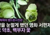 [권혁재 핸드폰사진관]딸을 눈멀게 했던 영화 서편제의 그 약초, 백부자 꽃