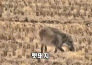 [단독] '병든 멧돼지' 막자…경기, 강원 경계 광역울타리 추진
