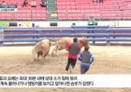 800㎏짜리 소들의 '뿔치기' 한판…청도 소싸움, 9개월만에 재개