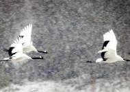 철원에 날아든 선비 - 한탄강은 두루미 세상
