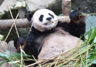 판다는 원래 육식동물? 하루 14시간 대나무 먹게된 사연