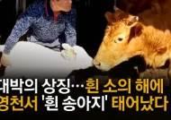 1205㎏, 경매가 2000만원...'흰 소의 해' 이색 한우 다 모였소