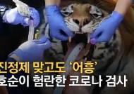 진정제 맞고도 '어흥'…14살 호순이도 '코로나 면봉'이 무섭다 [영상]