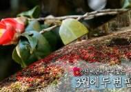 [영상] 강진 백련사 동백꽃은 3월에 두 번 핀다