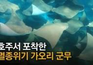"""'소의 코' 닮은 희귀 가오리 집단출몰…""""마법같은 순간"""" [영상]"""