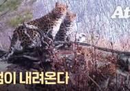 범이 내려온다…궁궐 주변 어슬렁, 한국표범 50년 만의 귀환