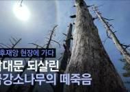 남대문 살린 금강송 떼죽음…'소나무 에이즈' 탓 아니었다