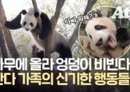 밥 먹다 나무 오른 판다…갑자기 엉덩이 비비는 이유 [영상]