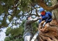 [장人들] 800살 곱향나무를 아시나요?