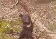 다리 잘려도 새끼 낳았다…경이로운 지리산 반달가슴곰 포착 [영상]