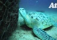 죽음 부르는데…바다거북, 맛없는 플라스틱 먹는 진짜 이유