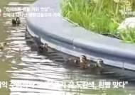 푹푹 찌는 한여름, 전북대 교정에 등장한 겨울철새 가족