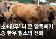 일제 수탈 얼룩진 '얼룩빼기'…토종 한우 칡소가 부활했소 [뉴스원샷]