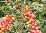 커피는 사망률 낮추는 씨앗, 각성제인 카페인이 문제