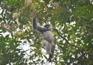 자바긴팔원숭이 야생 연구비 끊겨, 한국인 '제인 구달' 사라지나