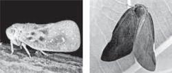 선녀벌레·매미충·꽃매미 … 기후 따뜻해지자 외래 해충도 창궐