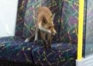 지하철에서 만난 여우, '노약자석에 떡 하니 앉아서…'