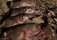 사냥 허가했지만 포획 한계…골칫거리 된 제주 노루