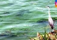 4대강 사업 집중된 낙동강에도 조류경보…식수원 비상