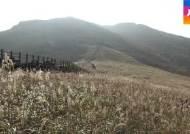 산들산들 물결치는 억새의 대향연, '영남 알프스' 장관