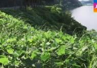 '식물계 황소개구리' 가시박 습격…4대강 생태계 교란