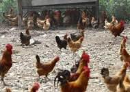 '적합' 판정 농장에서도…닭고기서 또 살충제 초과 검출