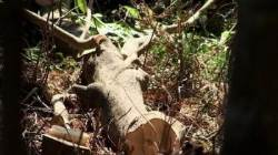 [뉴스브리핑] '삼나무숲 훼손 논란' 비자림로 확장공사 재개